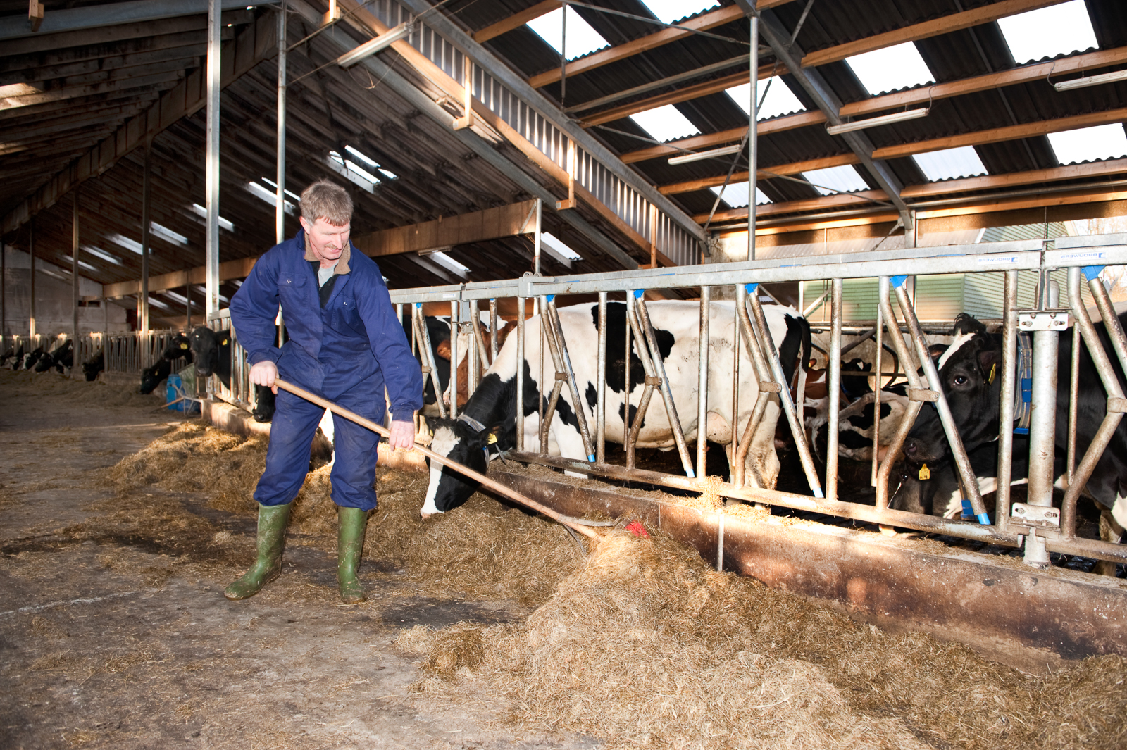Farmer cleaning a modern stable, while one of his cows is eating