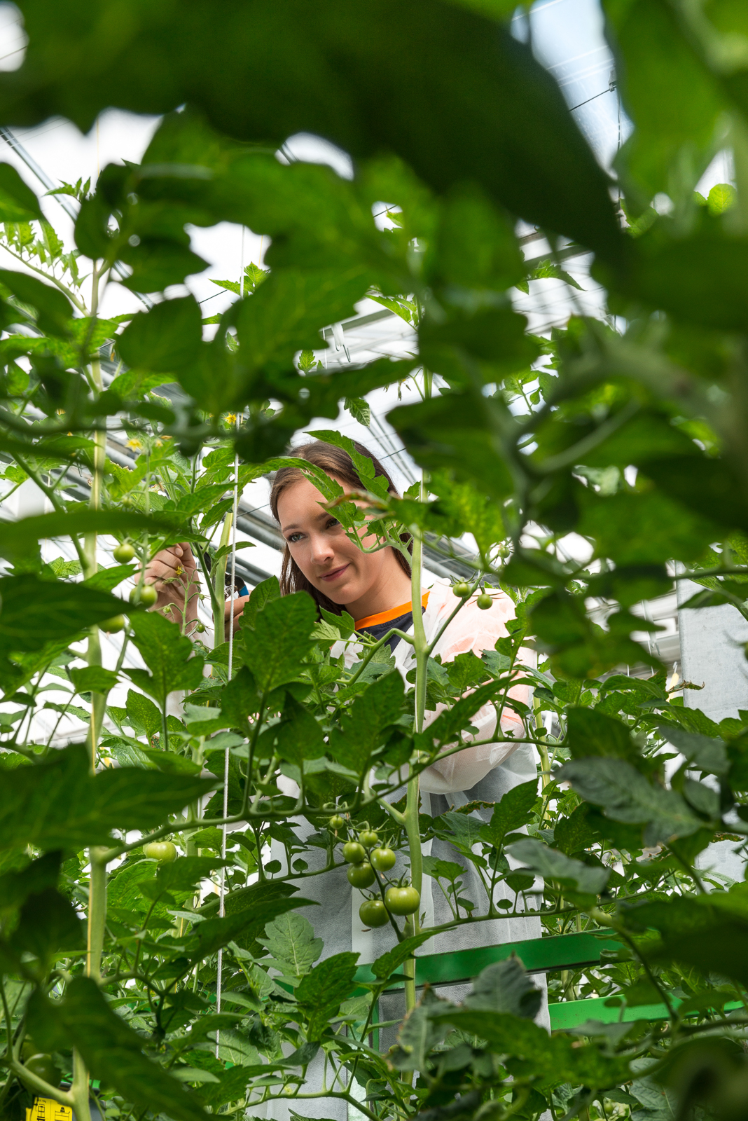 Confident Worker Pruning Tomato Plants In Greenhouse